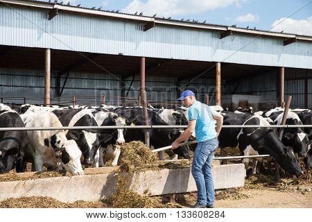 Portrait of farme feeding cows in farm