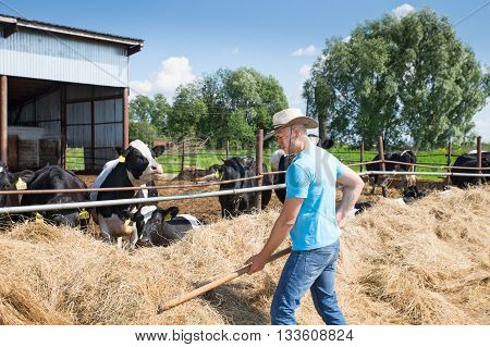 cowboy farme feeding cows in rural farm