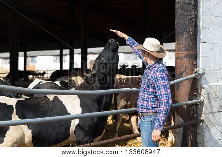Cowboy farmer is working on farm with dairy cows
