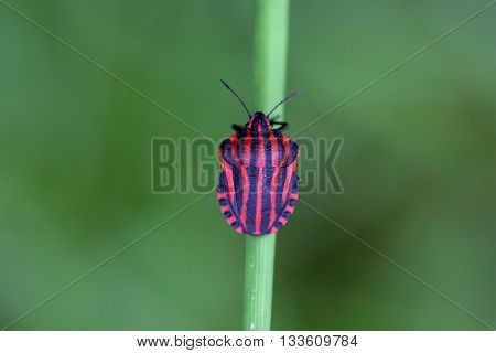 Italian Striped Bug or Minstrel Bug (Graphosoma lineatum)