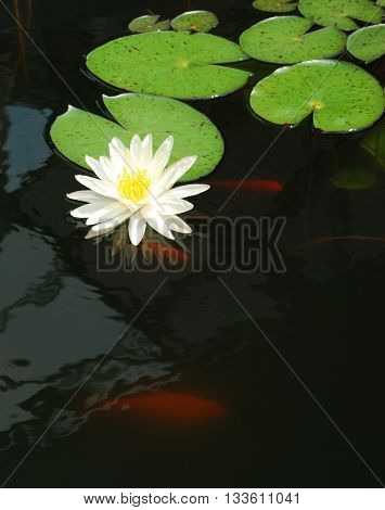 white water lily in a pond with goldfish