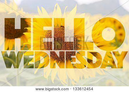 Hello Wednesday word on sunflower - background