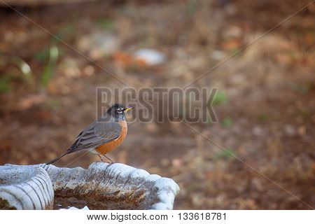 American Robin on bird bath with fall background