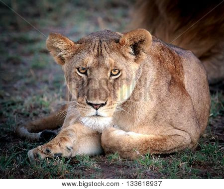 Lioness relaxing and stare down in the Serengeti, Africa