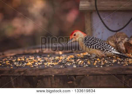 Red Bellied Woodpecker sits at a feeder with corn and sunflower seeds.