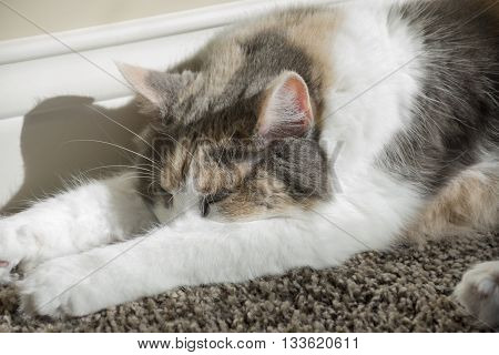 An adult muted calico cat sleeping on carpeting next to a wall in a home.
