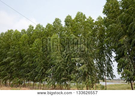 fresh green Eucalyptus tree in country Thailand