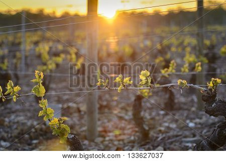 Into Vineyards Of Beaujolais During Sunrise, Burgundy, France