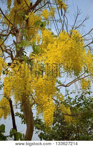 Golden shower flower or Cassia fistula flower in garden