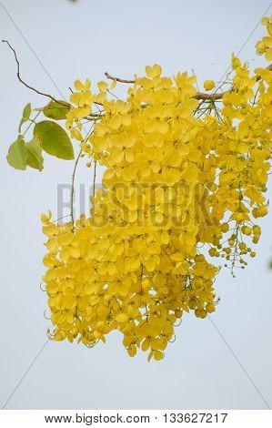 Golden shower flower or Cassia fistula flower in nature garden