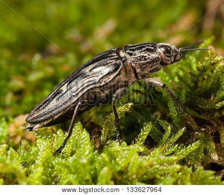 Borer Beetle On Forest Floor