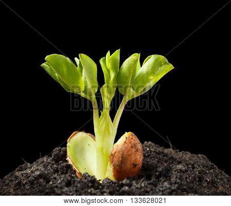 Macro of groundnut (Arachis hypogaea) seedling in soil heap isolated on black background