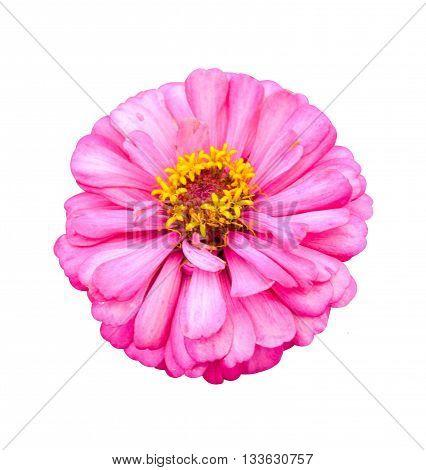 beautiful pink zinnia flower on white background