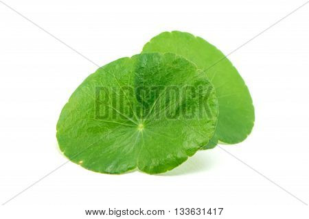 green asiatic pennywort isolated on white background
