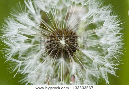 Close up of a dandelion taraxacum seeds with hair pappus