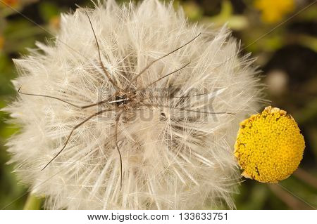 Close up of a dandelion taraxacum blowball with daddy long-legs spider