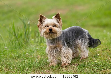 Cute Small Playful Yorkshire Terrier