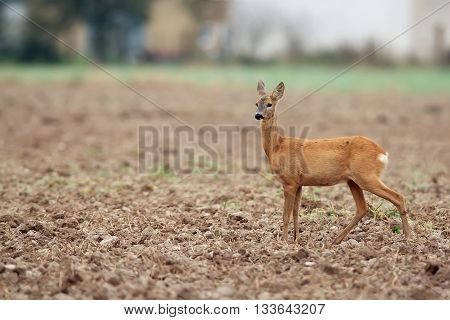 Roe-deer in a field in the wild