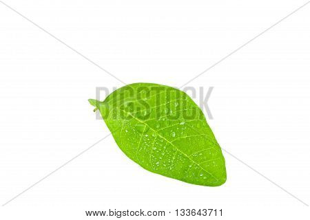 Water drop on fresh green leaf isolated on white background