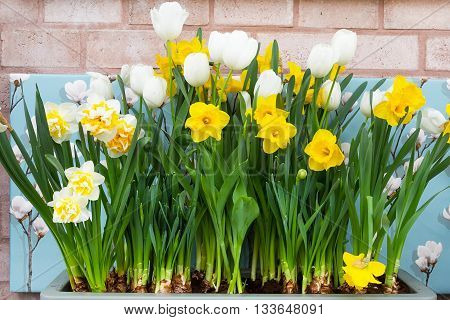 Spring background with row of white and yellow Daffodils on the brick wall background