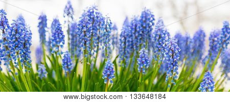 Spring panorama background with vibrant blue flowers grape hyacinth close-up with copy space