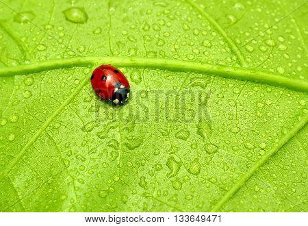 Beautiful ladybird sitting on a fresh wet leaf