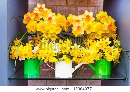 Spring background composition with yellow daffodils in water cans