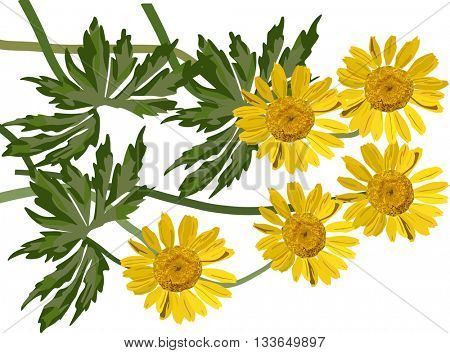 illustration with group of coltsfoot flowers isolated on white background