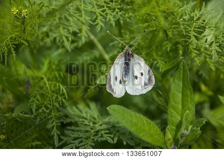 butterfly perching on leaf in nature dorsal view
