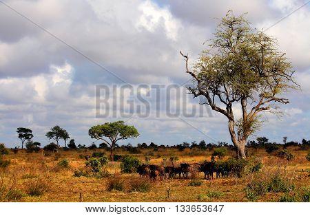 Landscape. Kruger National park. Wild nature. Safari. Wild animals herd. Autumn in South Africa. Artistic retouching.