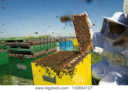 Horizontal front view of one woman beekeeper checking the honeycomb of a beehive with bees swarming around them