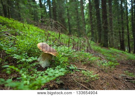 Boletus mushroom in the green forest in mountaines