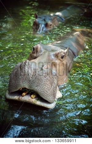 Close up view of nice  Hippopotamus face coming out of water