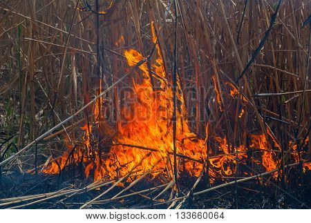 Burning of dry reeds on the lake. The burning reeds.