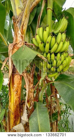 Green Bananas Hanging Down on Banana Tree