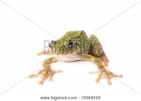 Tree Frog Ready To Jump