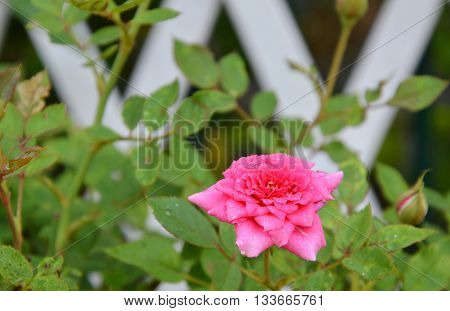 pink fairy rose blooming in the garden