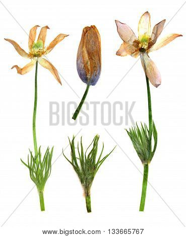 dry branch flower snowd and fresh green leaf close-up early in the spring isolated on a white background elements for scrapbook object pressed border edging