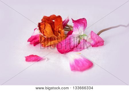 geranium petunia dry delicate flowers leaves and petals of pressed pelargonium isolated on grey background scrapbook