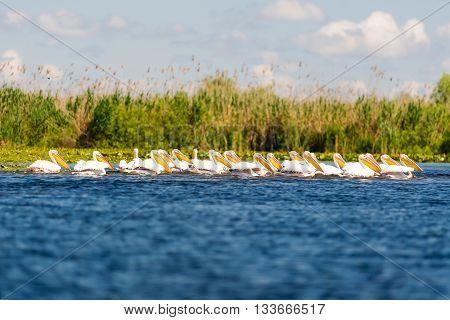 White pelicans (pelecanus onocrotalus) in the Danube Delta Romania
