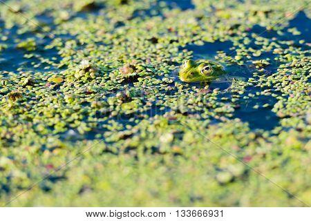 Marsh Frog at Danube Delta, green leaves