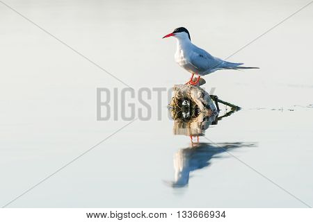 Whiskered tern (Chlidonias hybridus) in natural habitat Danube Delta