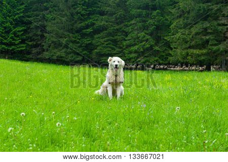 Pasture dog in the mountain, green grass