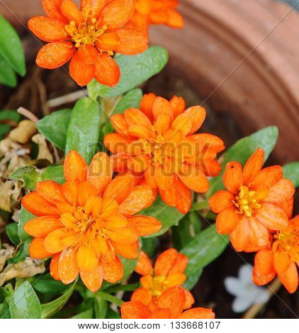 yellow french marigold in flowerpot on the garden