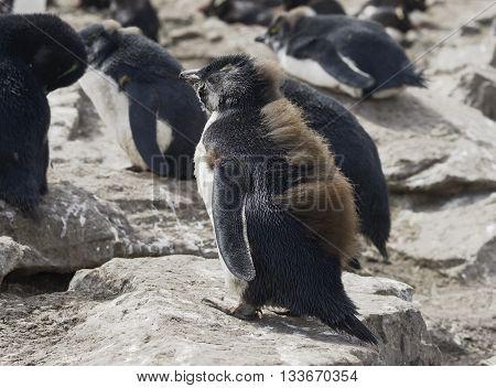 Baby Rockhopper penguin (Eudyptes chrysocome), Falkland Islands, Southern Atlantic Ocean