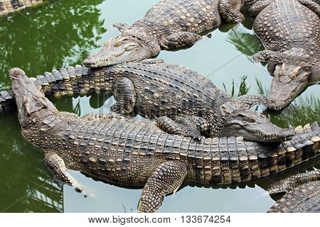 Many Crocodiles