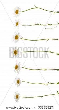 seven beautiful flowers field of daisies with white delicate petals and bright yellow center on thin delicate green stems on a white background isolation