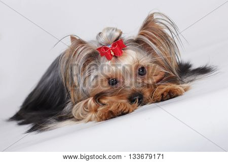 sad cute dog Yorkshire Terrier put and looks