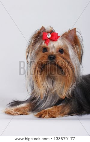 beautiful decorative dog Yorkshire Terrier with red bow on a gray background