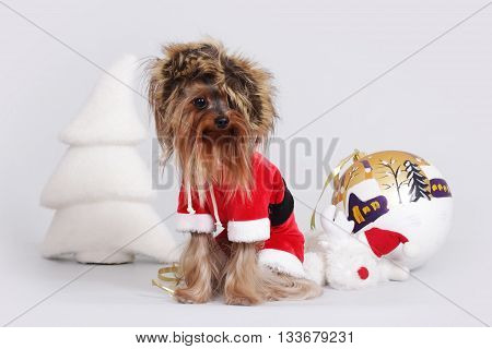 dog Yorkshire Terrier dressed as Santa Claus sits in a fur hat next to the Christmas items